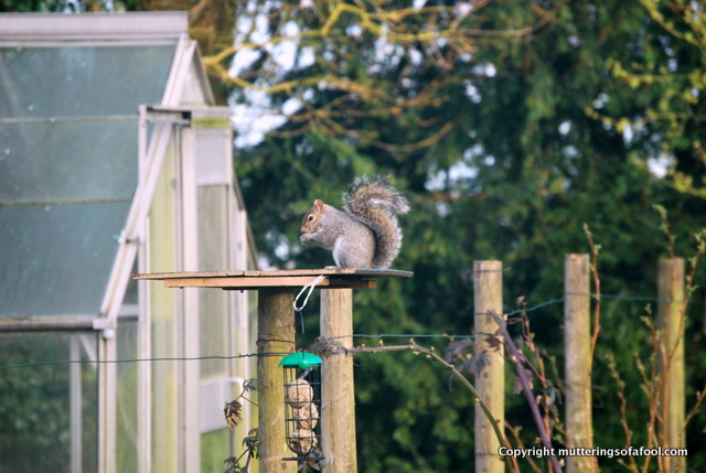 Grey squirrel eating on bird table