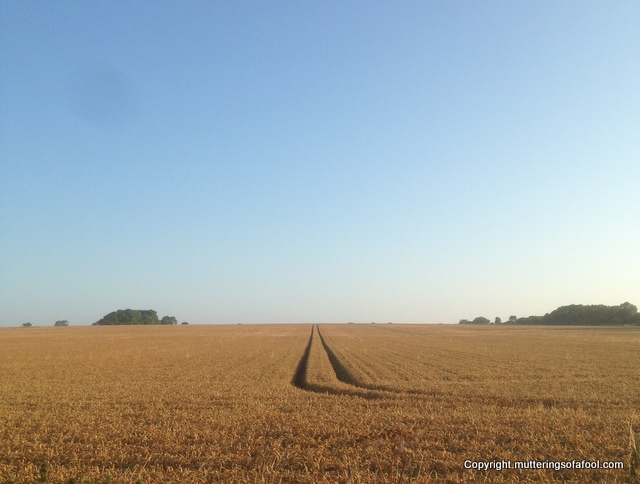 Wheat ready for harvest-001